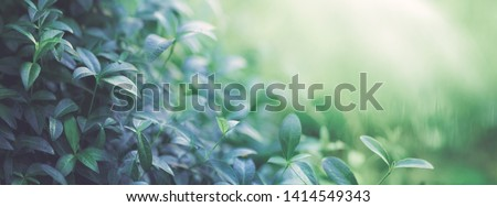 Natural background border with fresh juicy leaves with soft focus outdoors in nature, wide format, copy space, atmospheric image in soothing muted dark green tones. Photo stock ©