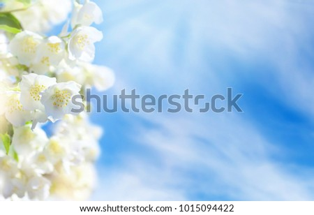 Stock Photo Natural background. Flowering jasmine flowers against the sky with clouds