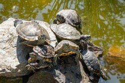Natural background. Image of the turtles basking on the stone in the pond