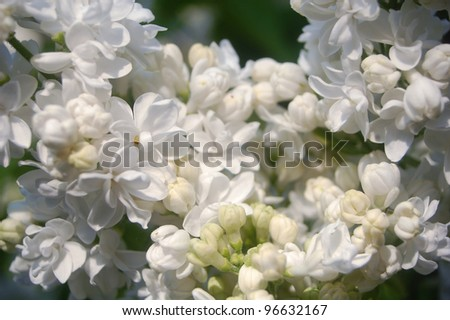 Natural background made of white lilac flowers .
