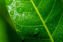 Natural background of Green mango leaf close up with raindrops and selective focus.
