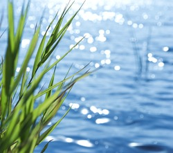 Natural background of green reeds against sparkling water