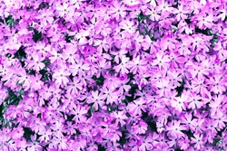 Natural background of pink subulate phlox flowers. Ideal for packaging. Landscaping of gardens, summer flowers.
