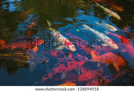 natural background of pond with koi carrp - stock photo