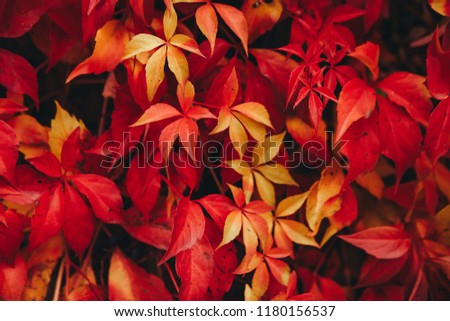 Natural background of red ivy parthenocissus quinquefolia in the autumn #1180156537