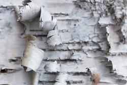 Natural background. Rosewood bark. Birch birch bark. Closeup with shallow depth of field.