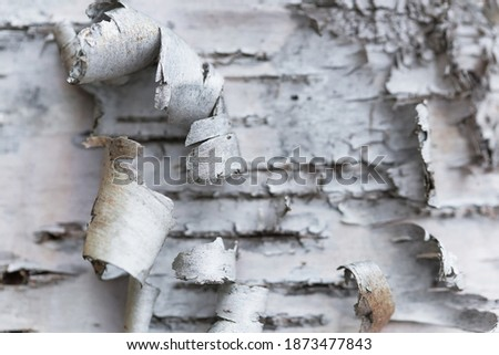 Natural background. Rosewood bark. Birch birch bark. Closeup with shallow depth of field. Photo stock ©