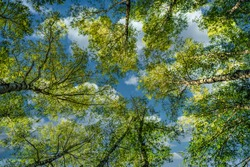 Natural background view from below of the crowns and tops of birch trees stretching to the blue sky with clouds and bright green leaves on a summer day