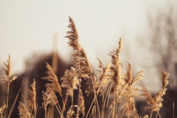 natural background with a beautiful spike in the foreground, a plant in sunlight, dried flowers