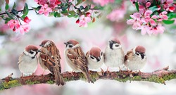 natural background with birds sitting on branches with pink Apple blossoms in the spring may Sunny garden