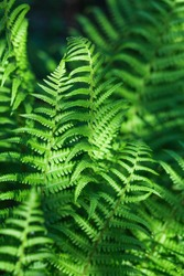 Natural background with green leaves of fern in sunlight.