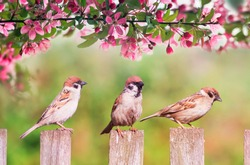 natural background with three birds sparrows sitting on a wooden fence in a rustic garden surrounded by apple-tree flowers on a sunny day