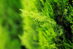 Natural background with thuja trees. Close up photo in cloudy day.