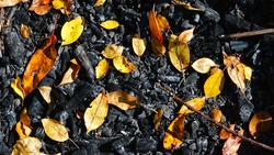 Natural background with yellow autumn leaves laying on charred earth and wood after a fire