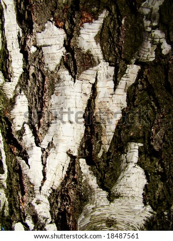 Natural bark of birch useful for backgrounds