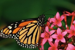 Natural Beautiful monarch Butterfly feeding on a beautiful flower. Close uo of Beautiful butterfly scene