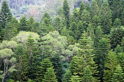 Natural beautiful ornament pine trees.