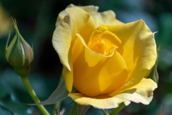 Natural Beautiful Yellow Roses in a Spring Garden, Golden Yellow Rose, Yellow Rose Flower, Yellow Petaled Flowers, a Romantic Rose, Color of Happiness
