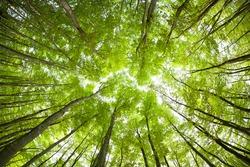 Natural Beech Tree Forest of Bijinbayasi