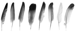Natural bird feathers isolated on a white background. collage pigeon and goose feathers close-up