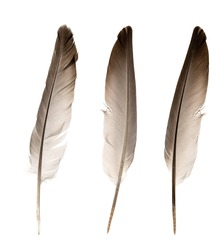 Natural bird feathers isolated on a white background. pigeon and goose feathers close-up