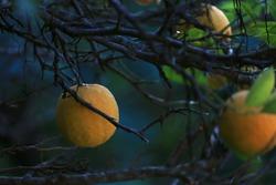 Natural Bitter orange - this is bitter orange tree. Fully ripe for eating Bitter