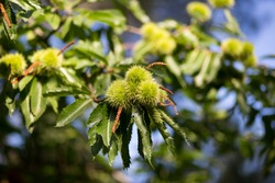Natural Chestnut