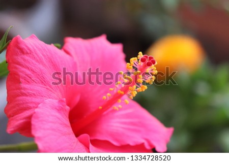 Natural close up hibiscus flower pic. hibiscus flower are in many colors like red, white, yellow and with many different sizes. some are small and some are normal size.