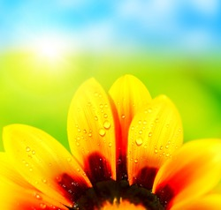 Natural colorful  abstract background, wet yellow petals of daisy flower, macro details