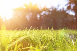Natural colorful background of spring or summer plants with sun shine. Fresh green leaves of grass with sparkling drops of dew in a meadow in a field close-up in morning bright sunlight, copy space.