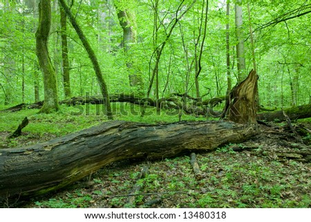 Natural deciduous forest landscape with dead tree and young hornbeam trees in background
