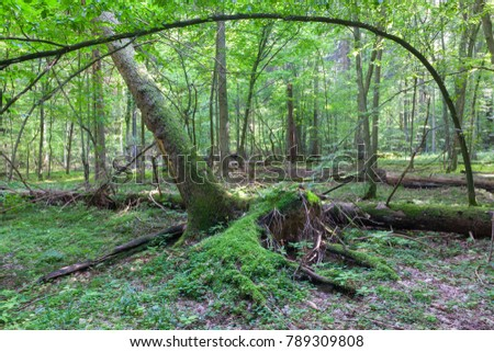 Natural deciduous stand t with lush hornbeam foliage and partly wind broken spruce tree in foreground, Bialowieza Forest, Poland, Europe #789309808