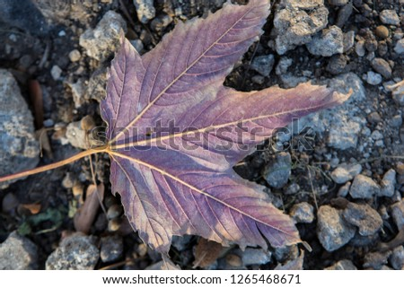 natural detailed close up filled frame wallpaper autumn shot of a centered isolated beautiful dry purple maple leaf lying horizontally on rough grey and black gravel stone surface background #1265468671