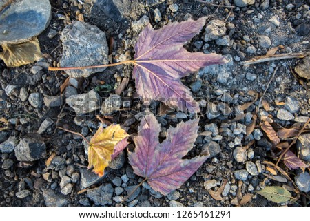 natural detailed close up filled frame wallpaper autumn shot of two dry purple and one yellow maple leaves lying on rough grey gravel stone surface with dry brown sticks and green leaves around #1265461294