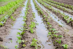 Natural disaster on the farm. Flooded field with seedlings of eggplant. Heavy rain and flooding. The risks of harvest loss. The flood. Agriculture. Ukraine, Kherson region. Selective focus