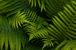 Natural ferns pattern. Beautiful background made with young green fern leaves. Beautiful ferns leaves green foliage. Natural floral fern background in sunlight.