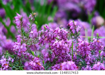 Free photos tiny purple flowers in garden avopix natural floral background with soft purple and pink heather bell shaped flowers bell heather mightylinksfo
