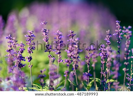 Natural flower background. Amazing nature view of purple flowers blooming in garden under sunlight at the middle of summer day.  #487189993