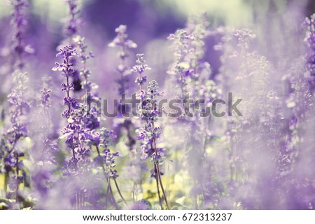 Stock Photo Natural flower background, Amazing nature view of purple flowers blooming in garden under sunlight at the middle of summer day,Blue salvia in garden Purple.