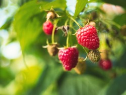 Natural food - fresh red raspberries in a garden. Bunch of ripe raspberry fruit - Rubus idaeus - on branch with green leaves on a farm. Close-up, blurred background.