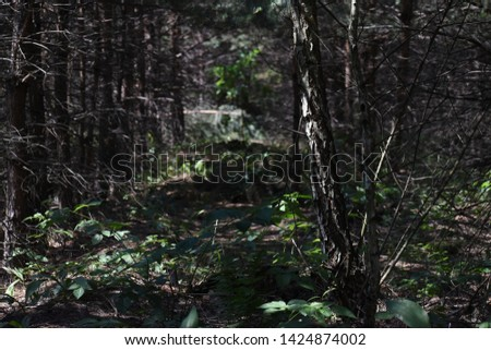 Natural Forest of Spruce Trees, Sunbeams through Fog create mystic Atmosphere #1424874002