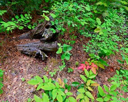 Natural Forest Scene - Forest greenery by a log in the woods near Abbott Creek -  north of Camp Sherman, OR