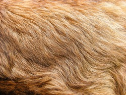 natural gold hair of an animal in the background close-up, leonberger long fur