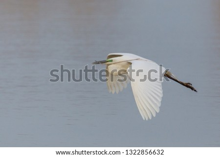 natural great white egret (egretta alba) in flight with branchlet in beak