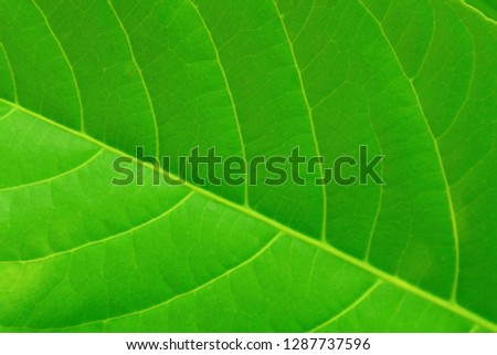 Natural green background - leaf of a tropical plant.