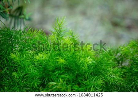 Natural green background with Asparagus Densiflorus Sprengeri or Sprengeri Asparagus Fern. selective focus and Copy Space.