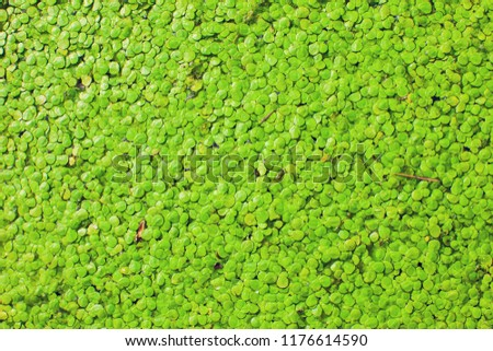 Natural Green Duckweed on the water as a background or texture. - Shutterstock ID 1176614590