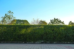 Natural green fence with blue sky