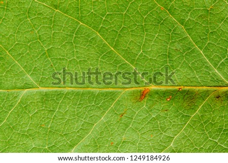 Natural green leaf fresh detailed rugged surface structure macro closeup photo with midrib visible leaf veins, grooves and imperfections as a nature texture ecology green biology background.