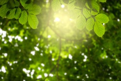 Natural green leaves on bokeh with sun light and blurred greenery background in garden with copy space. Safe world and ecology concept.